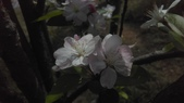 春天的花:IMAG4164.jpg