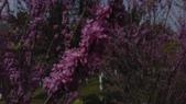 春天的花:IMAG4171.jpg