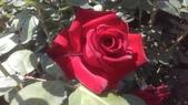 玫瑰花:IMAG4830.jpg