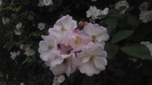 玫瑰花:IMAG4650.jpg