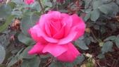 玫瑰花:IMAG4654.jpg
