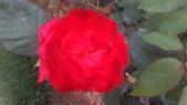 玫瑰花:IMAG4658.jpg