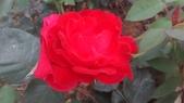 玫瑰花:IMAG4659.jpg