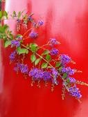 祝福眾生:喜氣的紫金露花2