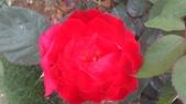 玫瑰花:IMAG4660.jpg
