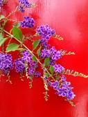 祝福眾生:喜氣的紫金露花4