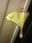 自由的精靈:紗窗上鵝黃色的水青蛾5