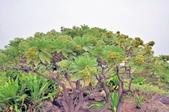 台東-富岡太麻里:小野柳海邊植物二.jpg