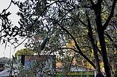 南法-聖保羅:聖保羅入口橄欖樹一.jpg