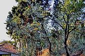 南法-聖保羅:聖保羅入口橄欖樹二.jpg