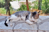 希臘-德爾菲考古博物館:考古博物館前的貓.jpg
