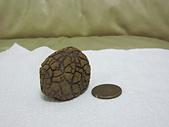 菠蘿鐵丸龜甲:IMG_2183.JPG