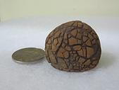 菠蘿鐵丸龜甲:IMG_2115.JPG