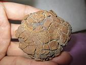菠蘿鐵丸龜甲:IMG_3981.JPG