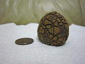 菠蘿鐵丸龜甲:IMG_2179.JPG