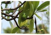 2014 小小胖&小妞妞趴趴走 II:台北樹蛙在海檬果葉面上夏眠