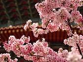2015.3.18 天元宮櫻花怒放 - 今年特茂密、特美:天元宮 (10).jpg
