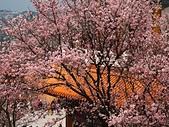 2015.3.18 天元宮櫻花怒放 - 今年特茂密、特美:天元宮 (5).jpg