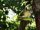 2015.8.4 五色鳥育雛 ~ 大安森林公園 :五色鳥 (24).JPG