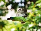 2015.8.4 五色鳥育雛 ~ 大安森林公園 :五色鳥 (26).JPG