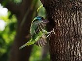 2015.8.4 五色鳥育雛 ~ 大安森林公園 :五色鳥 (17).JPG