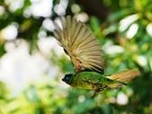 2015.8.4 五色鳥育雛 ~ 大安森林公園 :五色鳥 (11).JPG