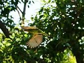 2015.8.4 五色鳥育雛 ~ 大安森林公園 :五色鳥 (5).JPG