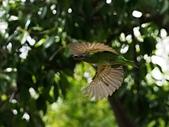 2015.8.4 五色鳥育雛 ~ 大安森林公園 :五色鳥 (6).JPG