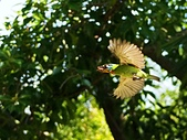 2015.8.4 五色鳥育雛 ~ 大安森林公園 :五色鳥 (1).JPG
