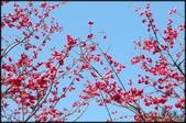 立法院、台北賓館、自由廣場、中正紀念堂:中正紀念堂櫻花-1_57.JPG