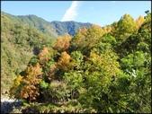尖石鄉、秀巒村、青蛙石、薰衣草森林:秀巒楓樹林_28.jpg