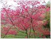 中部旅遊:草坪頭櫻花祭_061.jpg