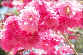 立法院、台北賓館、自由廣場、中正紀念堂:中正紀念堂櫻花-1_44.jpg