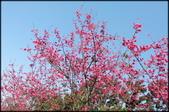 立法院、台北賓館、自由廣場、中正紀念堂:中正紀念堂櫻花-1_18.jpg