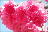 立法院、台北賓館、自由廣場、中正紀念堂:中正紀念堂櫻花-1_42.jpg