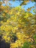 尖石鄉、秀巒村、青蛙石、薰衣草森林:秀巒楓樹林_69.jpg