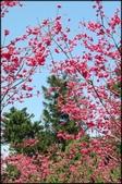 立法院、台北賓館、自由廣場、中正紀念堂:中正紀念堂櫻花-1_56.jpg