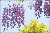 台北奧萬大、陽明山櫻花、竹子湖、平頂古圳步道:賞紫藤_045.jpg