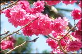 立法院、台北賓館、自由廣場、中正紀念堂:中正紀念堂櫻花-1_41.jpg