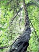 三峽風景區:大板根原始森林區_020.1.jpg