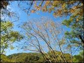 尖石鄉、秀巒村、青蛙石、薰衣草森林:秀巒楓樹林_148.jpg