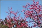 立法院、台北賓館、自由廣場、中正紀念堂:中正紀念堂櫻花-1_20.jpg