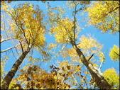 尖石鄉、秀巒村、青蛙石、薰衣草森林:秀巒楓樹林_145.jpg