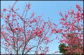 立法院、台北賓館、自由廣場、中正紀念堂:中正紀念堂櫻花-1_58.JPG