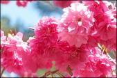 立法院、台北賓館、自由廣場、中正紀念堂:中正紀念堂櫻花-1_40.jpg