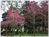 中部旅遊:草坪頭櫻花祭_030.jpg