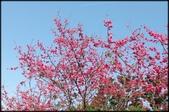 立法院、台北賓館、自由廣場、中正紀念堂:中正紀念堂櫻花-1_09.jpg