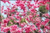 立法院、台北賓館、自由廣場、中正紀念堂:中正紀念堂櫻花-1_10.jpg