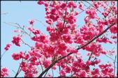 立法院、台北賓館、自由廣場、中正紀念堂:中正紀念堂櫻花-1_19.jpg