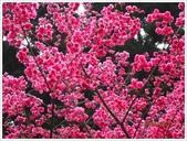 立法院、台北賓館、自由廣場、中正紀念堂:中正紀念堂櫻花_6868.JPG